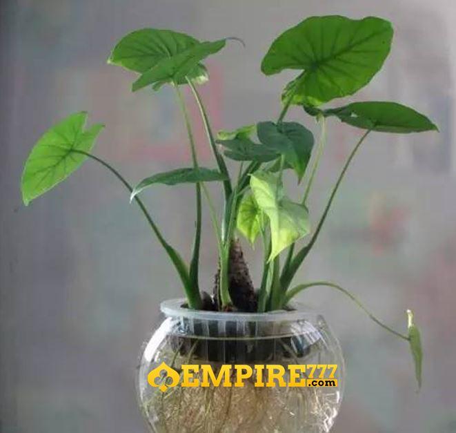 dg plant 滴水观音